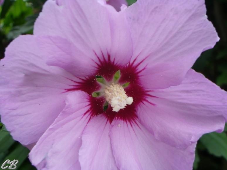Hibiscus synacus mauve