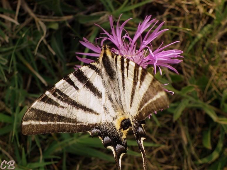 Flambé- Lepidoptera, Papilionidae